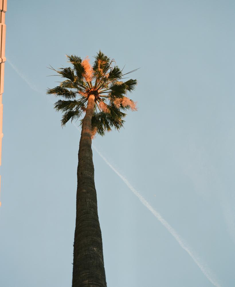 Palm Tree, Lacma, 8.12.2014 16:35