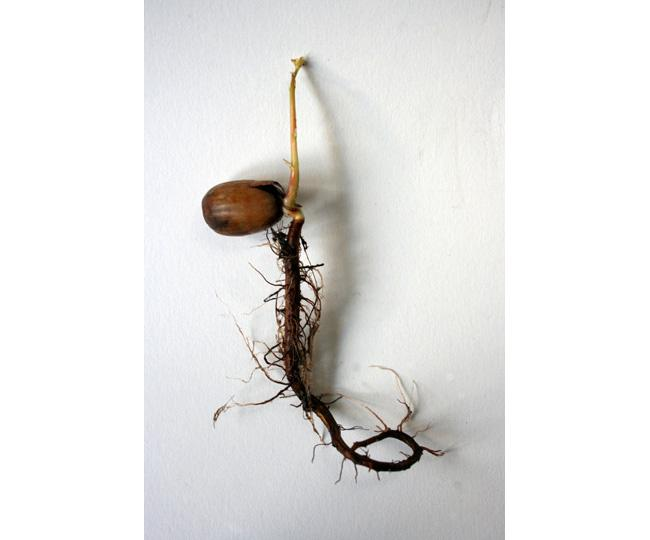 Beuys  Acorns 2007   (germination, single) Ackroyd  Harvey