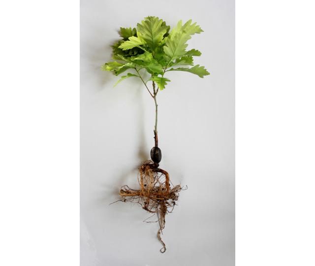 Beuys  Acorns 2007   (sapling roots) Ackroyd  Harvey copy