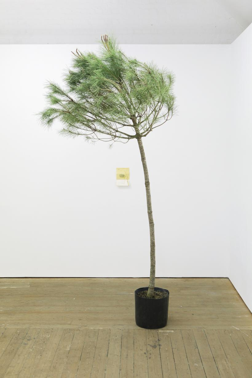"Ella Littwitz, ""... for the glory of the nation"", 2017. Pine tree and Jewish National Fund tree certificate. Dimensions variable"