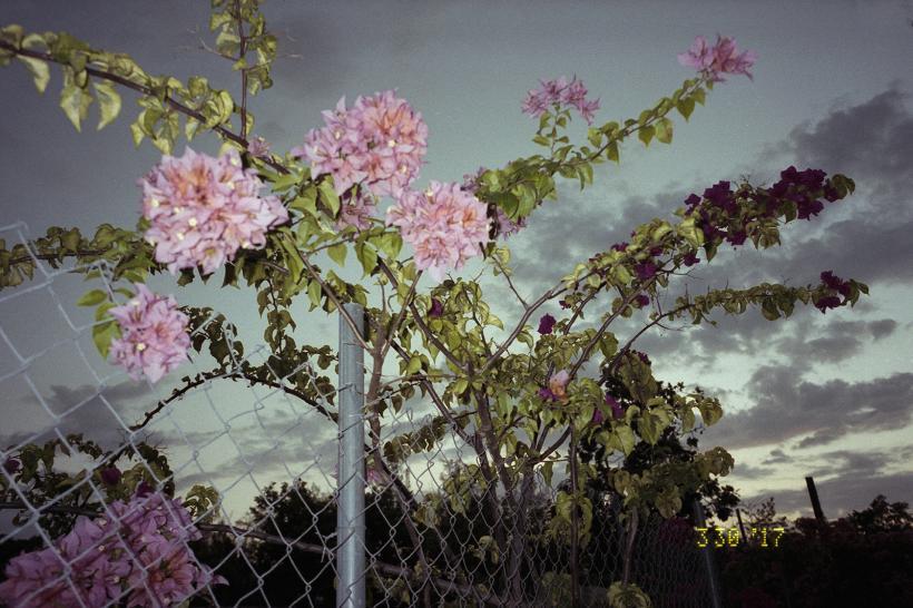 Fence ith Bougainvillea, 2017